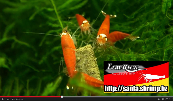 Santa Bee Shrimp video